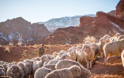 Shepherding to Herd Immunity